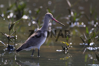 Godwit a large, long-billed, long-legged and strongly migratory wader of the bird genus Limosa