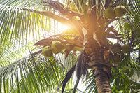Retro toned coconuts in a palm tree
