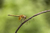 Dragonfly, Manu,Tripura, India