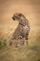 Cheetah sits with cub at her feet