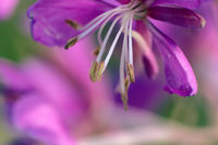 great willow herb, ultra macro