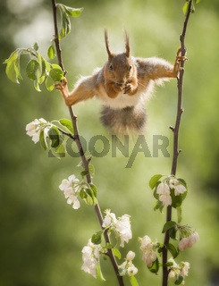 red squirrel in split between apple flower branches