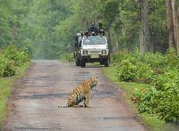 TADOBA, MAHARASHTRA, INDIA, June 2013, Tourist in Jeep watching tiger sitting on road