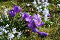 Crocus vernus, Frühlingskrokus, Spring crocus
