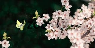 Beautiful blossoming cherry tree, flying butterfly on dark green background in sunlight, shallow depth. Vintage toned. Greeting card template. Nature springtime sakura flower panorama.