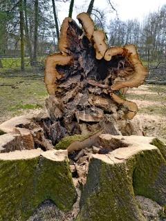 Umgeschnittener hohler Baum