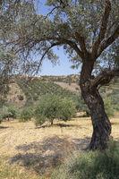 Olivenbäume auf Kreta, Griechenland