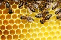 Honigbienen auf gelber Wabe