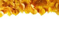 Yellow autumn leaves frame