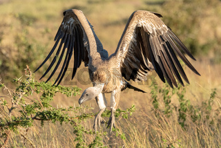 African white-backed vulture folds wings to land