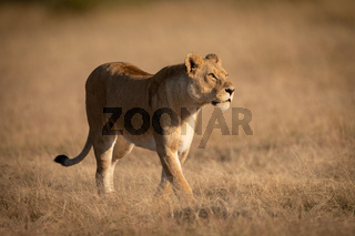 Lioness walking on short grass looking right