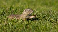 European ground squirrel feeding with herb on green pasture in summer