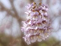 Blauglockenbaum (Paulownia tomentosa, Syn.: Paulownia imperialis), Blüte
