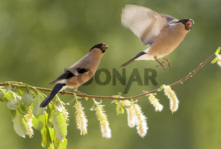 two female  bullfinch with an willow branch