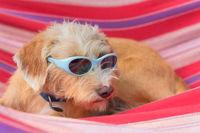 Funny little cross breed dog in hammock