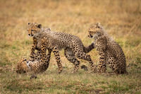 Cheetah cub sits as siblings play fight