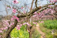 Peach blossom tree close-up in Chengdu