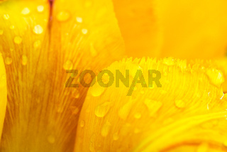 Petals of a yellow tulip with drops of morning dew - closeup