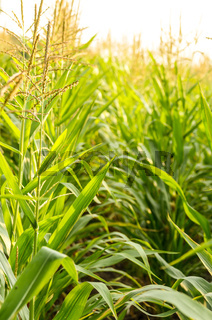 Maize corn green field summer time. Agriculture industrial background