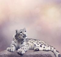 Young Snow leopard portrait