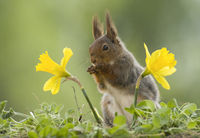 red squirrel standing between two narcissus
