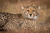 Close-up of cheetah cub lying in grass