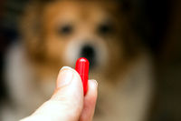 woman hand holding pills and close-up medicine and medications that are important in pug dogs. blurred background . ideas, concepts, Some dog breeds do not like to take medicine when sick