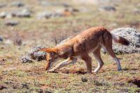 ethiopian wolf, Canis simensis, Ethiopia