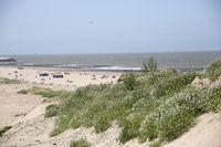 Europäische Meersenf (Cakile maritima) oder Strandrauke