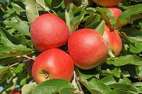 Rote Äpfel 5