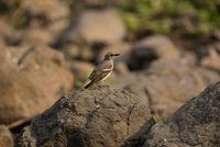 Yellow-throated sparrow, Gymnoris xanthocollis, Sinhagad valley, Pune district, Maharashtra, India.