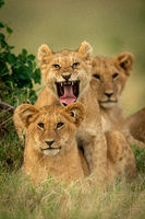 Lion cub lies yawning by two others
