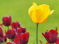 Gelbe Blüte einer Tulpe zwischen purpurnen Tulpenblüten