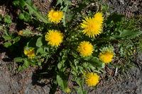 gelbe wildblume, löwenzahn