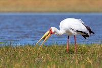 Yellow-billed stork, Botswana Africa wildlife