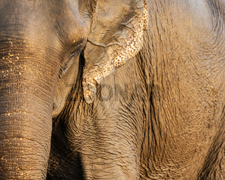 Asian elephant closeup shot