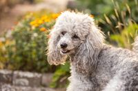 A miniature gray poodle toy standing in the garden on a sunny summers day.