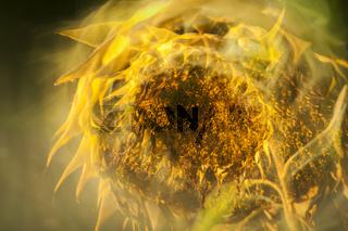 Faded sunflower effectful