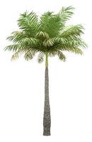 bottle palm tree isolated on white background