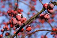 rote Früchte des Kirschapfel (Malus baccata), auch Beerenapfel
