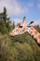 The head of a giraffe against a blue sky