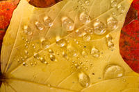 Water Droplets sit on Autumn Colored Leaves