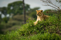 Lioness lying on grassy mound stares left