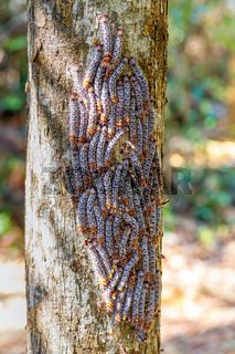 Shoe Lace caterpillars Madagascar wildlife