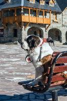 Pedro the Saint Bernard dog is one of the symbols of the city, outside the Centro Civico, San Carlos de Bariloche, Nahuel Huapi National Park, The Lake District, Argentina