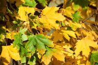 canadian maple leafs in autumn