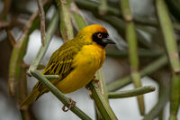 Masked weaver bird perched on green branches