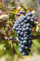 Common grape vine, Vitis vinifera