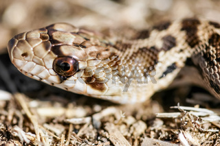 Adult Pacific Gopher Snake (Pituophis catenifer catenifer) head.