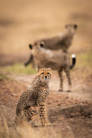 Cheetah cub sits on track with others